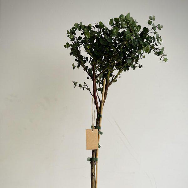Eukaliptus na štapu