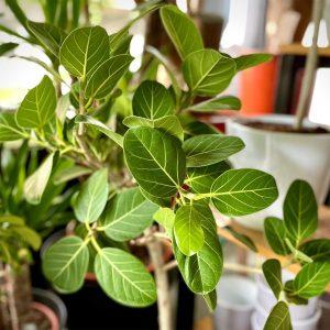 Ficus benghalensis